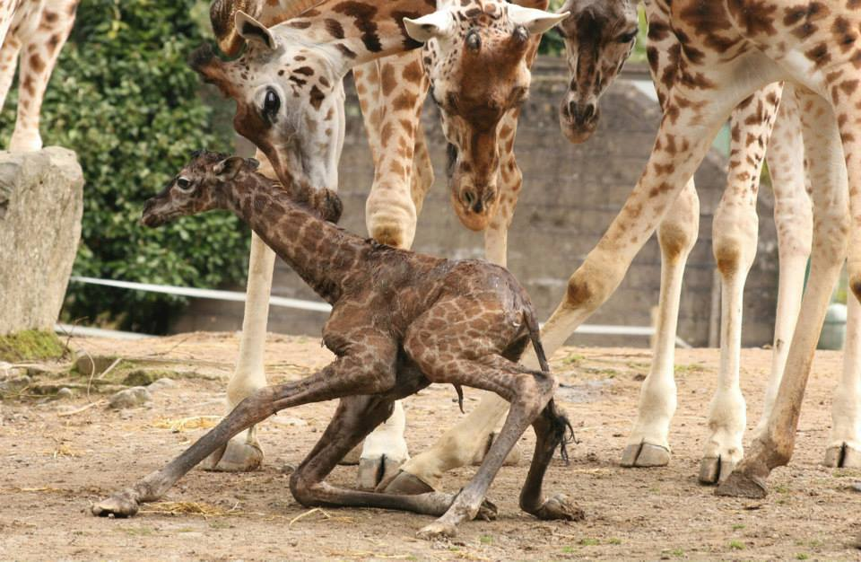 Facts About Baby Giraffes  Sciencing