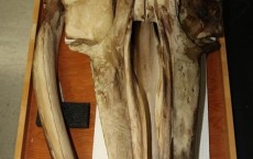Baleen Whale Skull