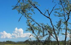 Mesquite Tree and Grassland