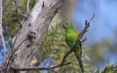 Swift Parrot Female