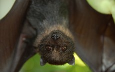 Juvenile Mariana Fruit Bat