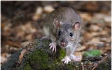 Rat Animal