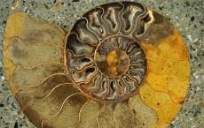 Fossil Nautilus