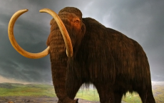 Woolly Siberian Mammoths Extinct Due To Human Hunting