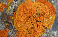 Orange Lichens Could Be A Potential Source For Anticancer Drugs