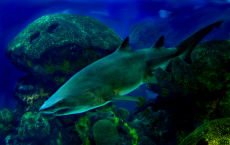 Sharks Lose Their Hunting Abilities Due To Warmer, Acidic Ocean
