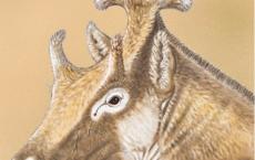Xenokeryx amidalae, extinct giraffe relative