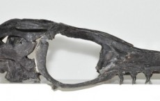 Mosasaur Fossil