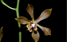 Encyclia inopinata- New Orchid Species