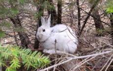 Snowshoe Hare Stands Out Like Light Bulbs Against Snowless Background