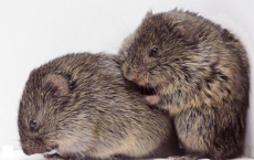 Prairie Voles Consoling Each Other