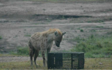 Spotted Hyena Tries To Solve Puzzle Box