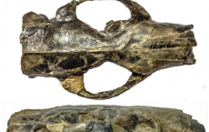 Paramys: oldest, well preserved rodent skulls on record