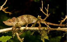 New Chameleom Species: 'Kinyongia msuyae'