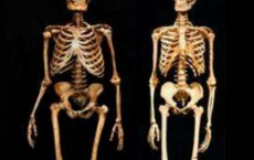 Neanderthal Skeleton (Left) And A Modern Human Skeleton (Right)