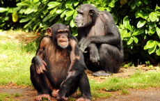Pair Of Chimps