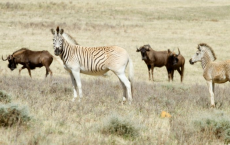 'Rau quagga' Zebra Subspecies