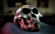 Cast of the Skull of Australopith, Lucy