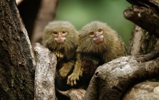 New Rainforest exhibit Home To World's Smallest Monkeys