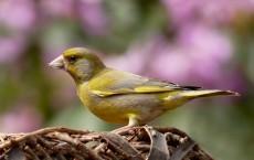 Green-finch Bird