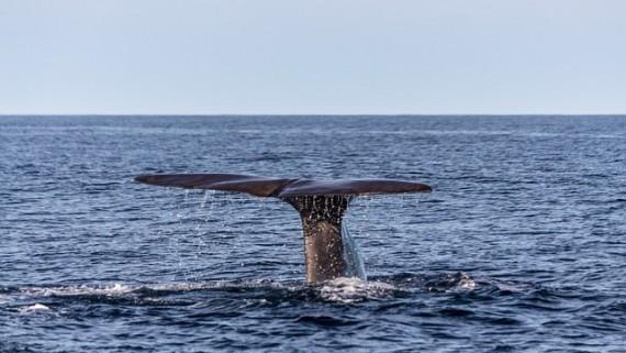 Sperm Whale Caudal Fin