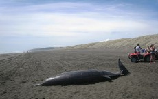 Beached Whale (Mesoplodon Grayi)