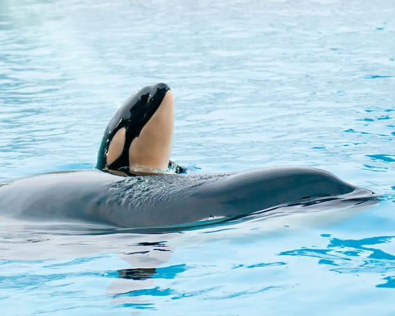 Killer Whale Kasatka Gives Birth At SeaWorld San Diego