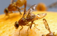 Female Fruit Fly