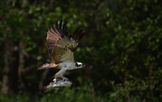 Ospreys Return To Scotland For The Summer
