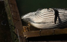 Hump Back Whale Washes Up On Northern Beaches