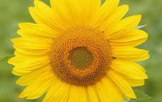 New Study Finds How And Why Sunflowers Follow Sun Movement