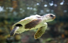 Satellite tracking reveals sea turtle feeding hotspots