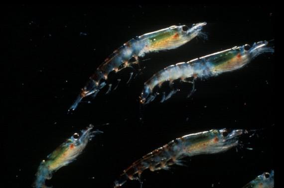 Antarctic Krill