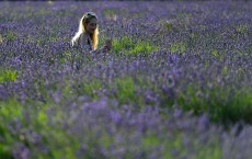 Lavender Harvest In The Surrey Countryside