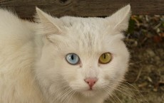 Cat Briciola with pretty and different colour of eyes