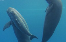 Captive Yangtze Finless Porpoise Gives Birth To Second Cub In Wuhan