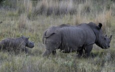 Poachers Slaughter Pregnant Rhino At Nairobi National Park
