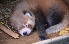 Rare Red Panda Born at Auckland Zoo