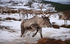 Britain's Only Reindeer Herd Prepare For Christmas In The Cairngorms National Park