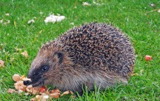 Hedgehogs Linked to Latest Salmonella Outbreak, Health Officials Say