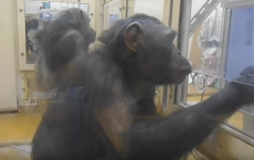 Chimpanzees Tested For Butt Recognition