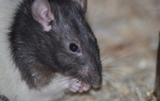 Sugar Intake Tied to Memory Problems in Adolescent Rats