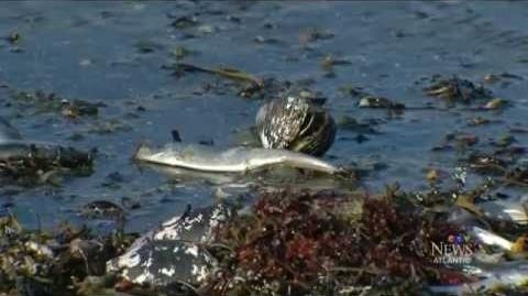 Thousands Of Dead Fish Washed Ashore In Nova Scotia