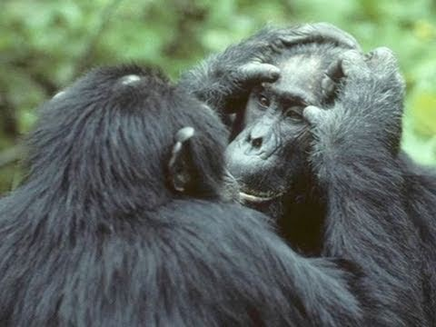 Chimps Know How To Avoid Inbreeding Depression