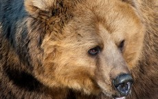 Switzerland's Only Bear Killed by Officials