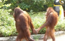 """Online Dating"" For Orangutans"