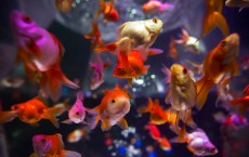 Goldfish Exhibition At 'Art Aquarium'