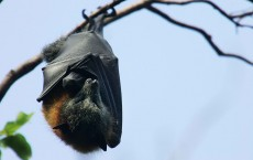 Gray-Headed Flying Foxes To Be Relocated From Royal Botanic Gardens