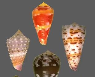 Cone Snail Venom