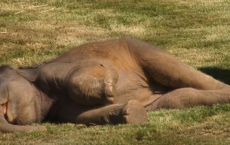 Mother Elephant Can't Wake Sleepy Baby